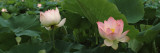 Lotus Blooming in a Pond Wallstickers af Panoramic Images