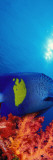 Yellow-Banded Angelfish with Soft Corals in the Ocean Wall Decal by  Panoramic Images