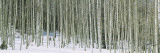 Aspen Trees in a Forest, Chama, New Mexico, USA Wall Decal by  Panoramic Images