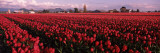 Tulips in a Field, Skagit Valley, Washington State, USA Wall Decal by  Panoramic Images