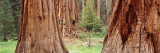 Sapling Among Full Grown Sequoias, Sequoia National Park, California, USA Wall Decal by  Panoramic Images