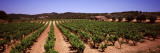 Vineyard, Bot, Terra Alta, Tarragona Province, Catalonia, Spain Wall Decal by  Panoramic Images