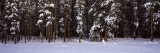 Snow Covered Trees in a Forest, Banff National Park, Alberta, Canada Wall Decal by Panoramic Images