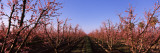 Peach Trees in an Orchard, Central Valley, California, USA Wall Decal by  Panoramic Images