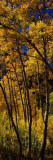 Aspen Trees in Autumn, Colorado, USA Wall Decal by  Panoramic Images