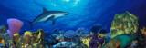 Caribbean Reef Shark Rainbow Parrotfish in the Sea Kalkomania ścienna autor Panoramic Images
