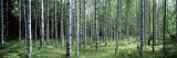 White Birches Aulanko National Park Finland Wall Decal by  Panoramic Images