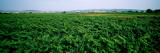 Vine Crop in a Field, Vilafranca Del Penedes, Catalonia, Spain Wall Decal by  Panoramic Images