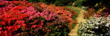 Azaleas in a Garden, Winkworth Arboretum, Surrey, England Wall Decal by  Panoramic Images