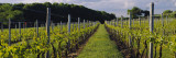 Chardonnay Grapes in a Vineyard, Sakonnet Vineyards, Little Compton, Newport County Wall Decal by  Panoramic Images