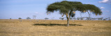 Acacia Trees with Weaver Bird Nests, Antelope and Zebras, Serengeti National Park, Tanzania Wallstickers af Panoramic Images,