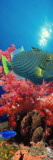 Orange-Lined Triggerfish and Soft Corals in the Ocean Wall Decal by  Panoramic Images