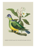 Green Pigeon and Cur Champhah of the Concan Wall Decal by J. Forbes