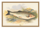 Chub Wall Decal by A.f. Lydon