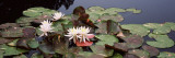 Water Lilies in a Pond, Sunken Garden, Olbrich Botanical Gardens, Madison, Wisconsin, USA Wall Decal by  Panoramic Images