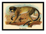 The Talapoin Wall Decal by G.r. Waterhouse
