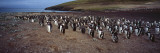 Colony of Gentoo Penguins at the Neck, Saunders Island, Falkland Islands Wall Decal by  Panoramic Images
