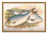 Pomeranian and White Bream Wall Decal by A.f. Lydon