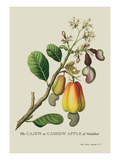 The Cashew Apple of Malabar Wall Decal by J. Forbes