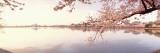 Panoramic Images - Květy sakury u jezera, Washington D. C., USA Lepicí obraz na stěnu
