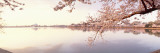 Cherry Blossoms at the Lakeside, Washington DC, USA Wall Decal by Panoramic Images 