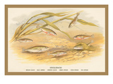 Sticklebacks Wall Decal by A.f. Lydon