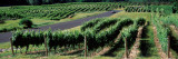 Road Passing Through Vineyards, Chateau Chantal, Grand Traverse County, Michigan, USA Wall Decal by  Panoramic Images