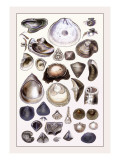 Shells: Monomyaria Wall Decal by G.b. Sowerby