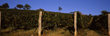 Grape Vines in a Vineyard, Mount Majura Vineyard, Canberra, Australia Wall Decal by  Panoramic Images