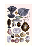 Shells: Monomyaria, Pteropoda, and Gasteropoda Wall Decal by G.b. Sowerby