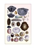 Shells: Monomyaria, Pteropoda, and Gasteropoda Wall Decal by G.b. Sowerby