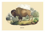 Bison Wall Decal by E.f. Noel
