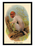 The Bald Uakari Wall Decal by G.r. Waterhouse