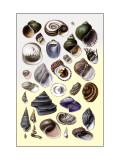 Shells: Trachelipoda Wall Decal by G.b. Sowerby