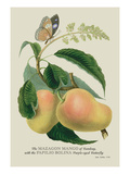 The Mazagon Mango and the Papilio Bolina Wall Decal by J. Forbes
