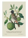 Indian Nightingale Wall Decal by J. Forbes
