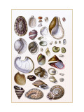 Shells: Gasteropoda and Trachelipoda Wall Decal by G.b. Sowerby