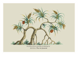Pandanus Odoratissimus Keura Tree in Guzerat Wall Decal by J. Forbes