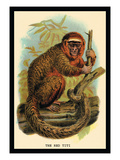 The Red Titi Wall Decal by G.r. Waterhouse