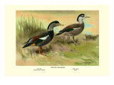 Crested Sheldrake Ducks Wall Decal by S. Kobayashi