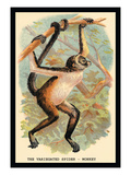 The Variegated Spider-Monkey Wall Decal by G.r. Waterhouse