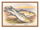 Allis Shad and Twaite Shad Wall Decal by A.f. Lydon