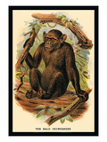 The Bald Chimpanzee Wall Decal by G.r. Waterhouse