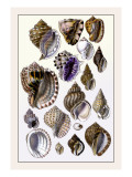 Shells: Purpurifera Wall Decal by G.b. Sowerby