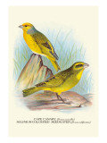 Cape Canary, Sulphur-Coloured Seed-Eater Wall Decal by Arthur G. Butler
