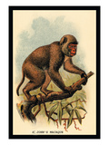 St. John's Macaque Wall Decal by G.r. Waterhouse