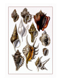 Shells: Trachelipoda Wall Decal by G.b. Sowerby