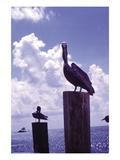 Pelican Wall Decal by William B. Folsom