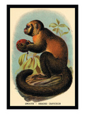 Smooth-Headed Capuchin Wall Decal by G.r. Waterhouse