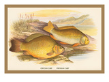 Crucian and Prussian Carp Wall Decal by A.f. Lydon